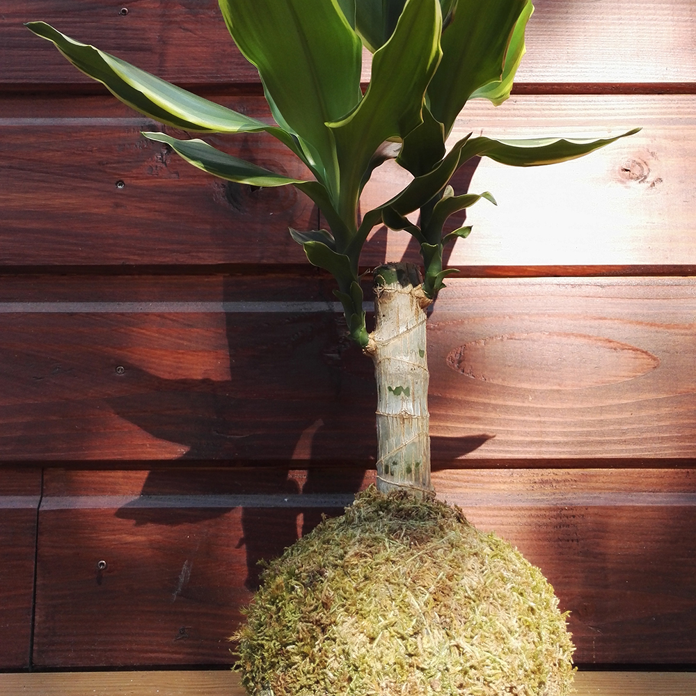 Photo d'un dracaena en kokedama