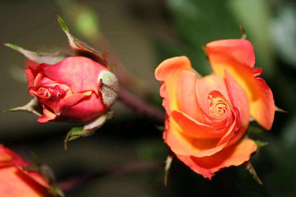 Photo d'une rose orange accompagné de son bouton