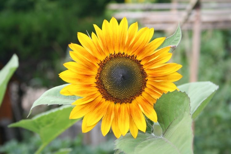 photo d'un tournesol bicolore