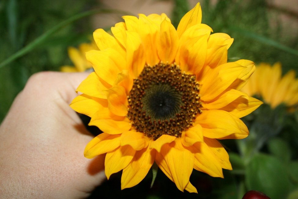 Photo tournesol jaune cœur maron